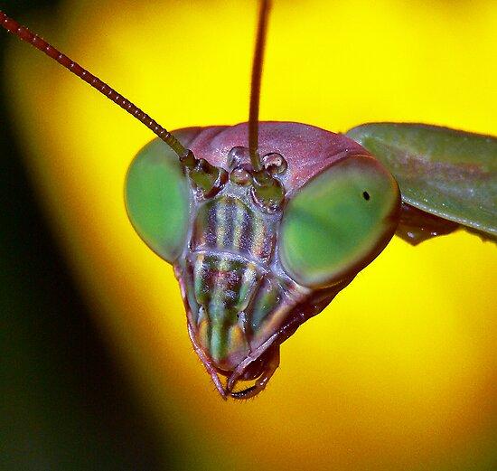 Praying Mantis (2) by robkal