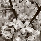 Sea of Lilacs Sepia by Kathilee