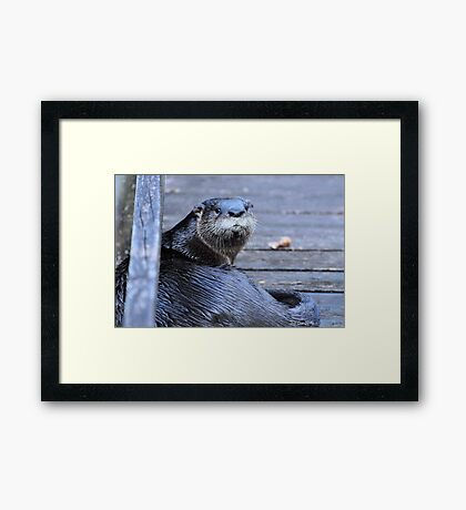 North American River Otter ( Lontra,canadensis) Framed Print