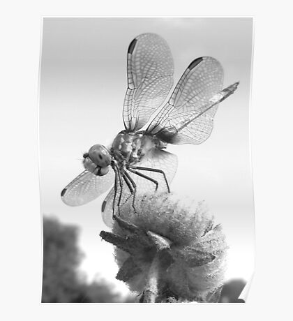 Dragonfly B Poster