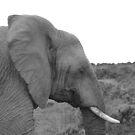 Elephant Head by HelenBanham