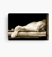 Sleeping Lioness Canvas Print