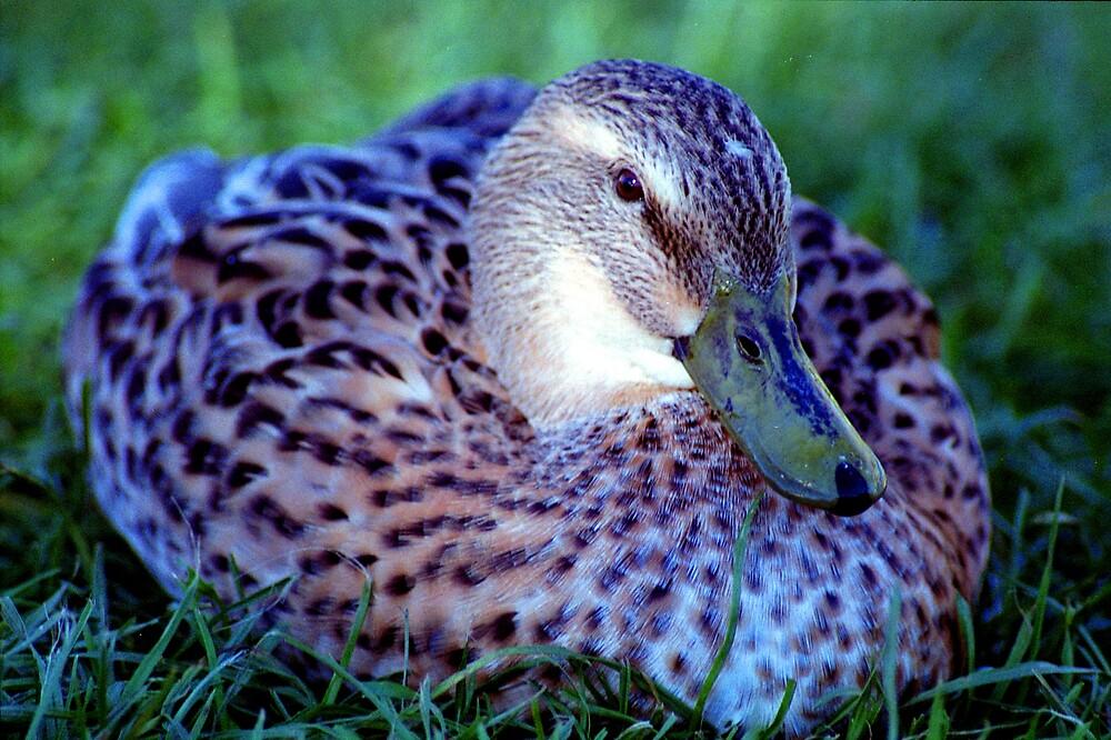 Tassie Duck by KT111
