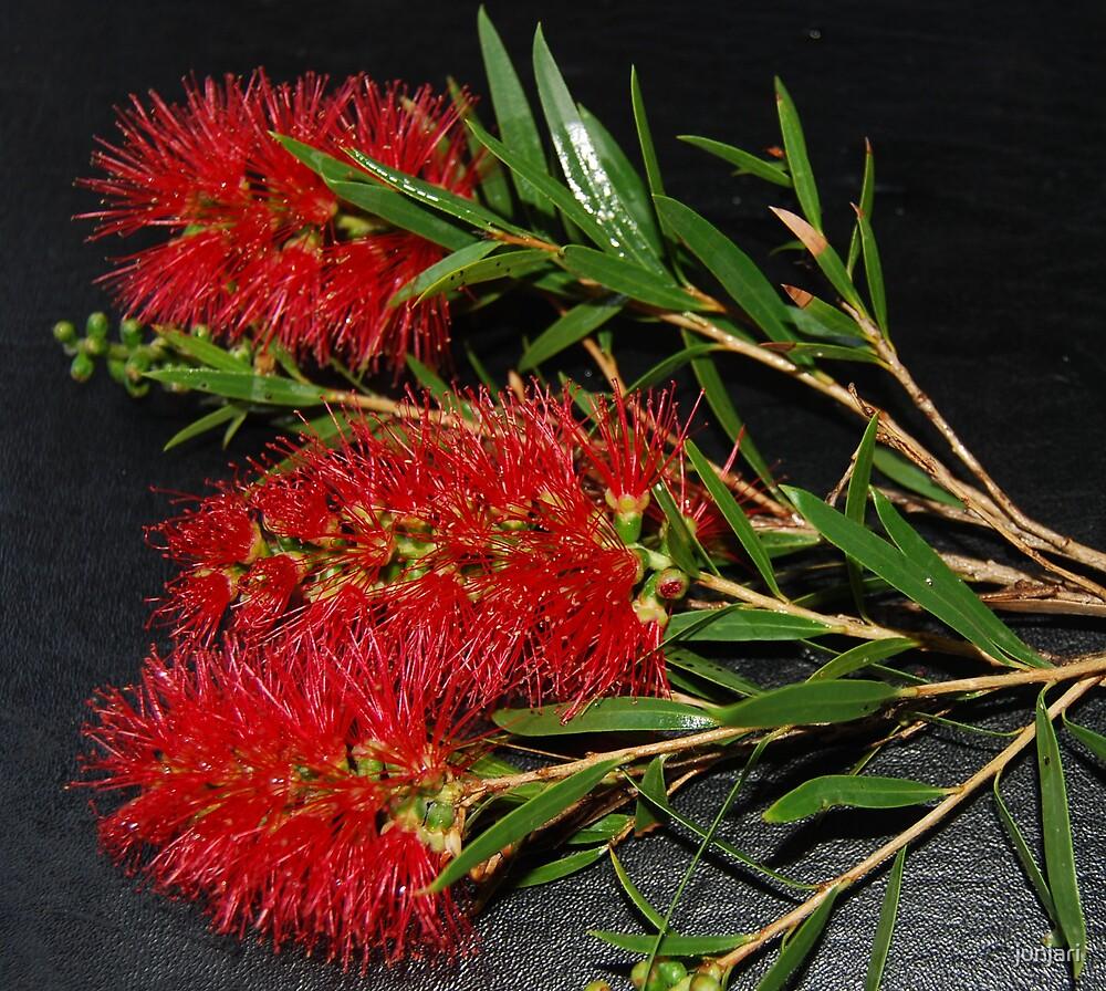 Australian Honeysuckle by junjari
