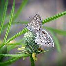 Ceraunus Blue Butterfly Found A Mate! by Penny Odom