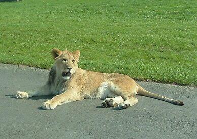 Resting Big Cat by bigroy