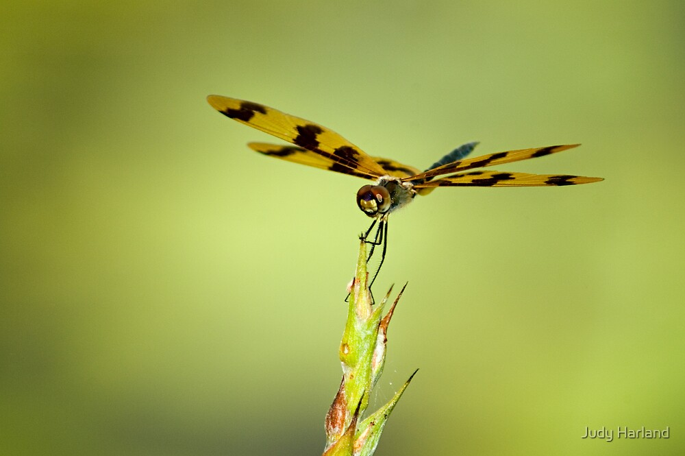 Banded Flutterer Dragonfly by Judy Harland