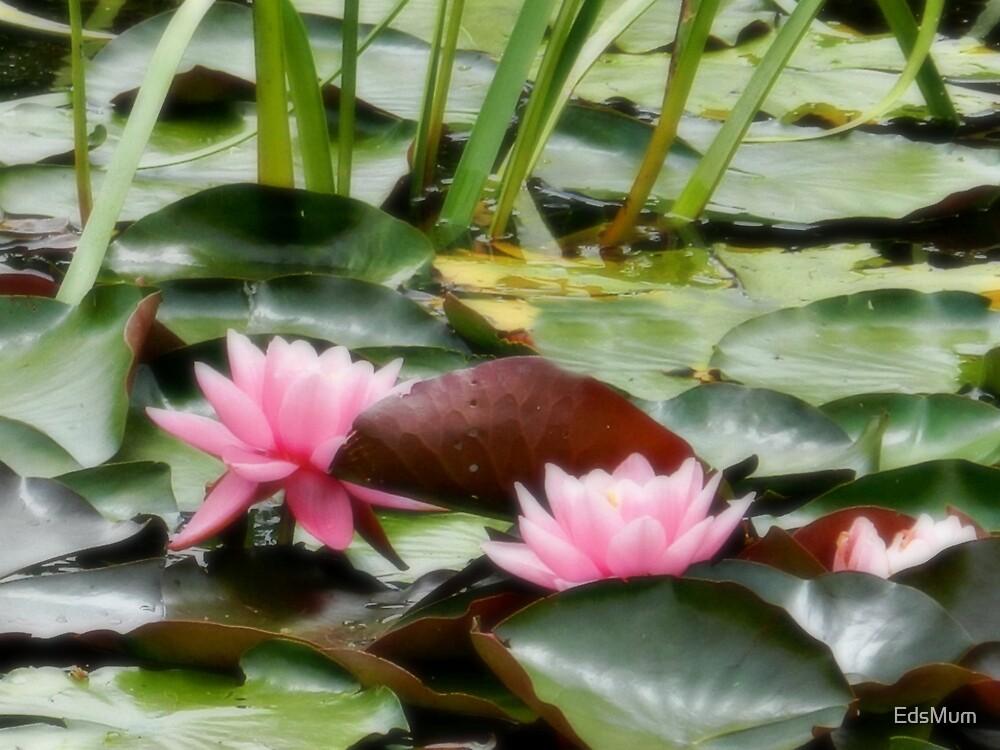 Water Lilies at Barwon Ridge Golf Club, Vic. Australia by EdsMum