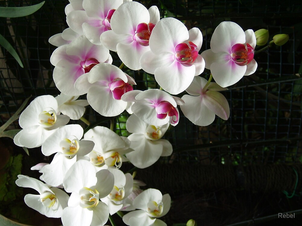Orchids by Rebel