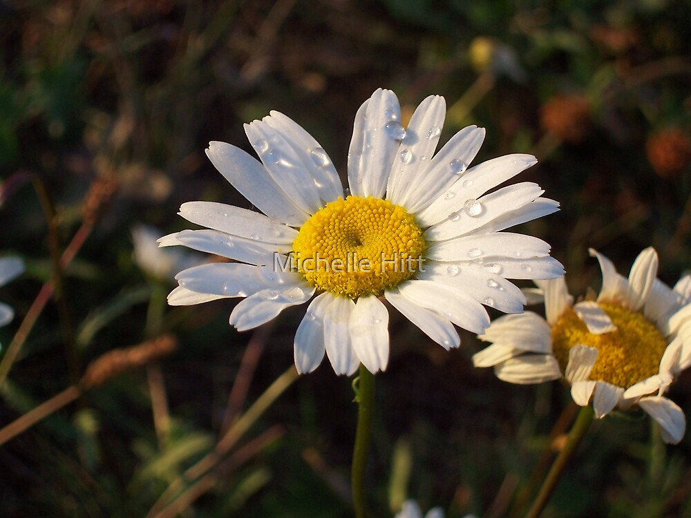 Rainy Daisy by Michelle Hitt
