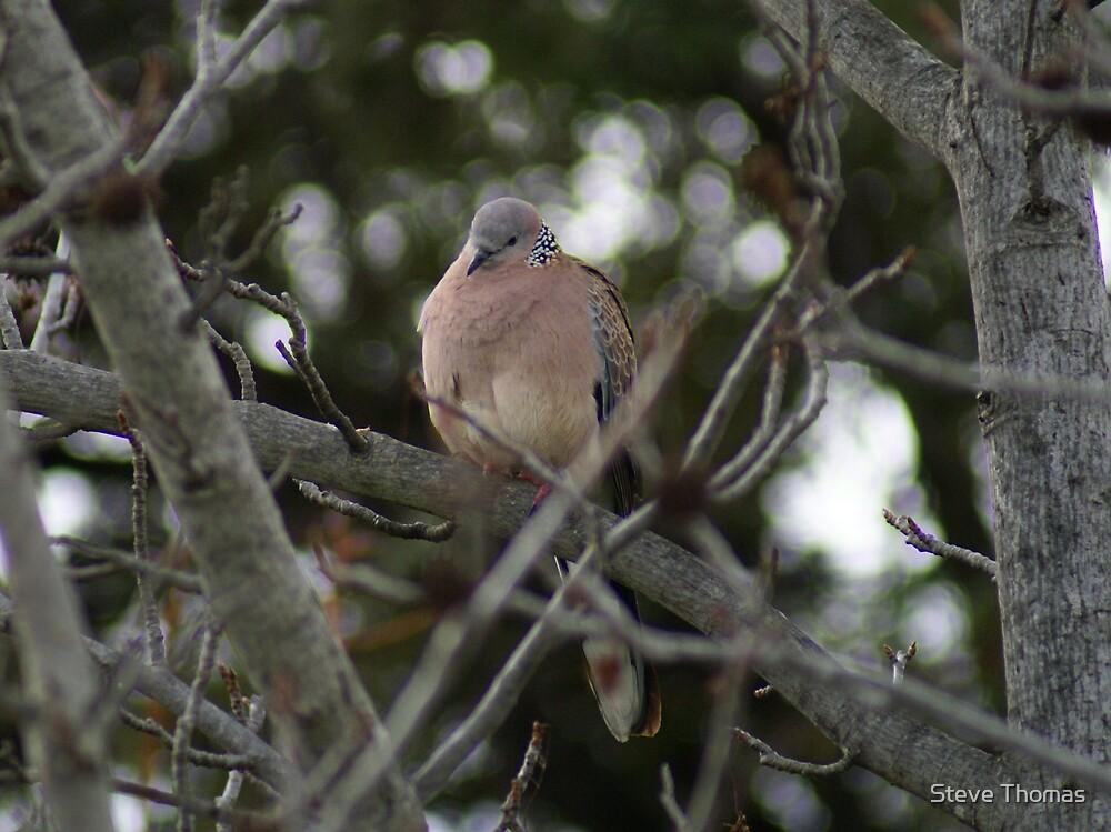 Pigeon by Steve Thomas