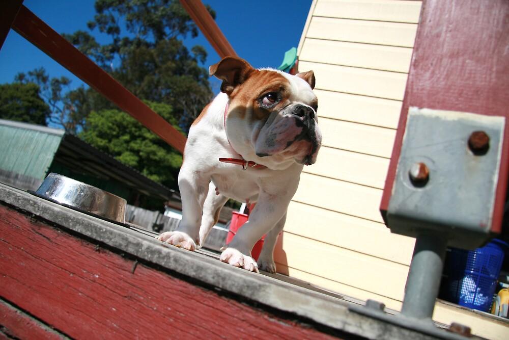 Coco the bulldog by szikszai