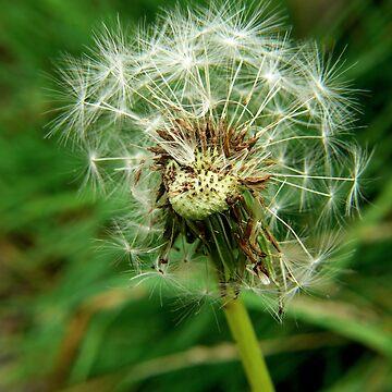 Dandelion by stetoye