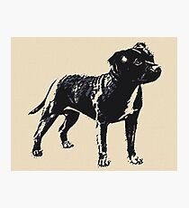 Staffordshire Bull Terrier - Conte Style Photographic Print