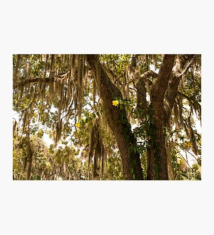 Allamanda And Oak Tree Photographic Print