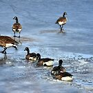 Ice breakers - Canada Geese in winter by Poete100