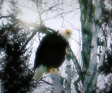 eagle by kari