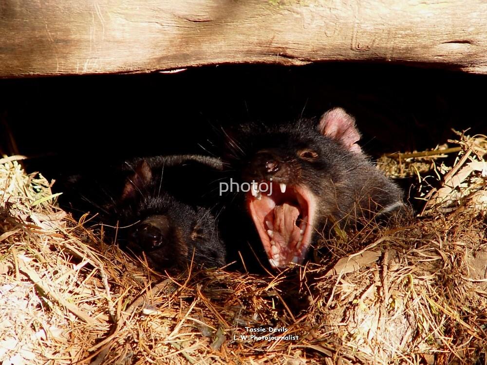 photoj Tasmania Devil's, 'Nothing like a Yawn' by photoj