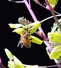 Honey Bee by EOS20