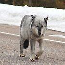 Grey wolf on road by zumi