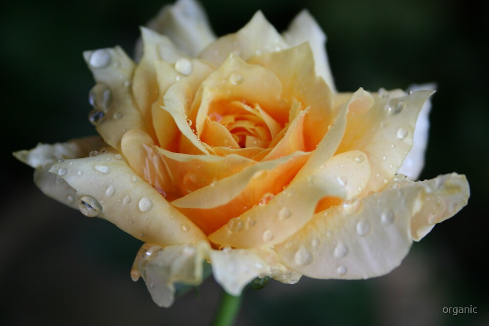 Raindrops on Rose by organic