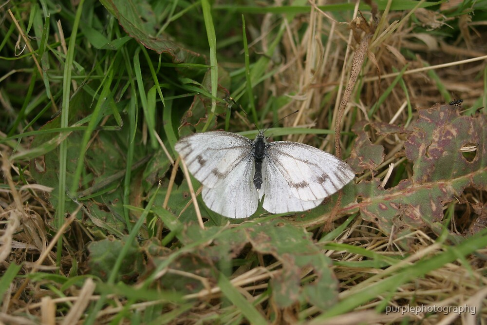 White Butterfly by purplephotography