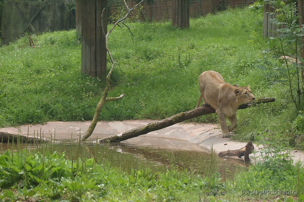 Lion walking over Log! by purplephotography