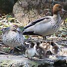 Australian Wood Ducks & Ducklings by BevB