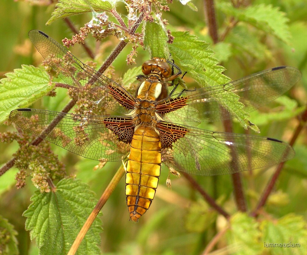 Gold Dragonfly by iammeasiam