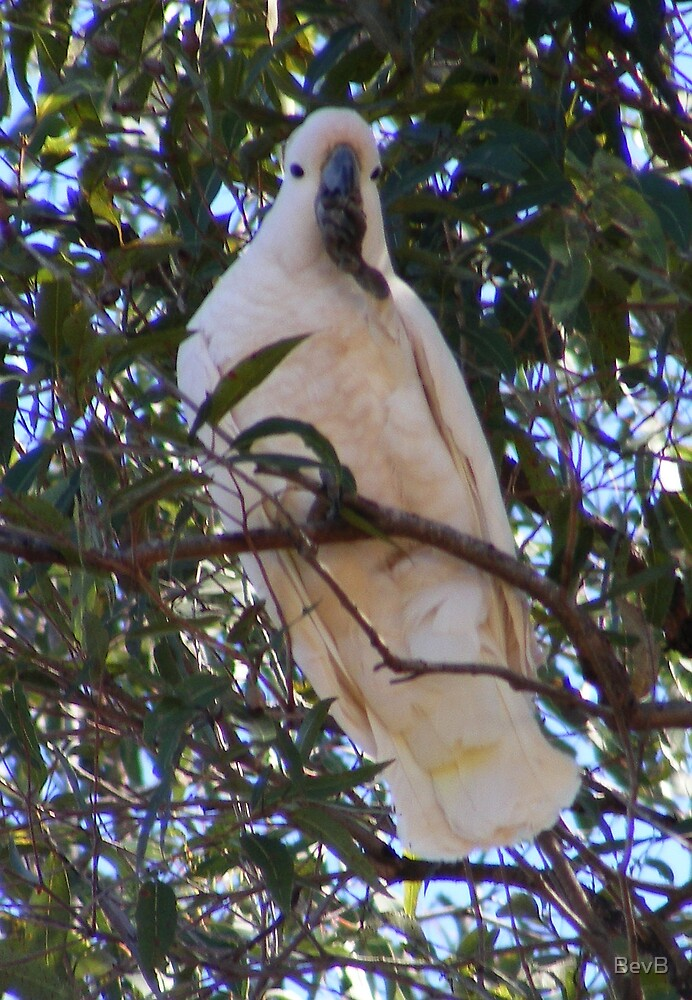 Sulphur-crested Cockatoo by BevB