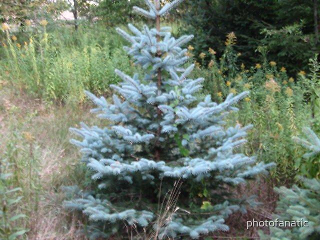 blue pine tree by photofanatic