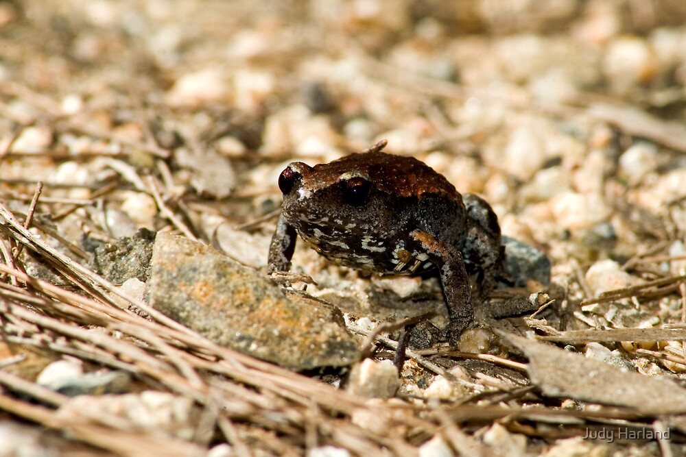 Copper-backed Brood Frog (Pseudophryne raveni) by Judy Harland