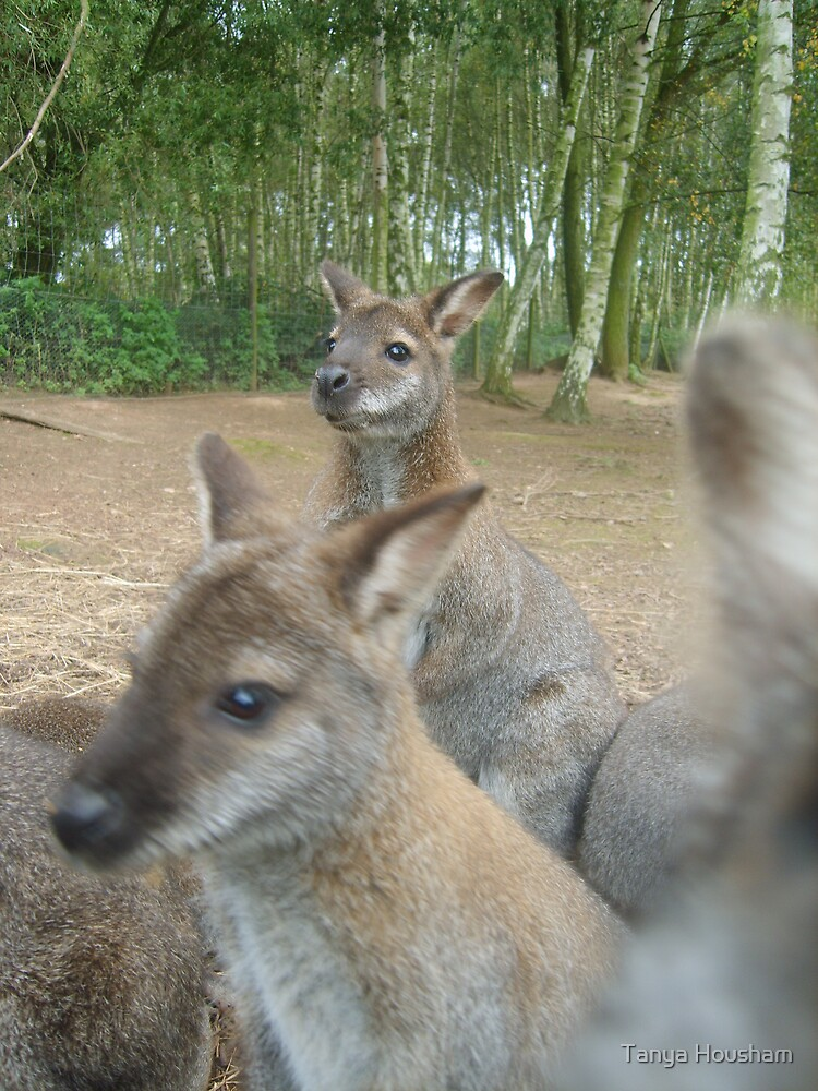 Wallaby in the picture? by Tanya Housham