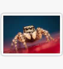 Pseudeuophrys erratica female jumping spider photo Sticker