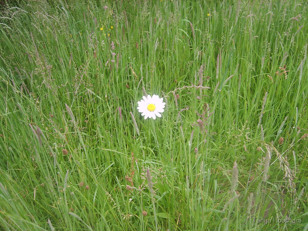 Lone daisy by Tanya Housham