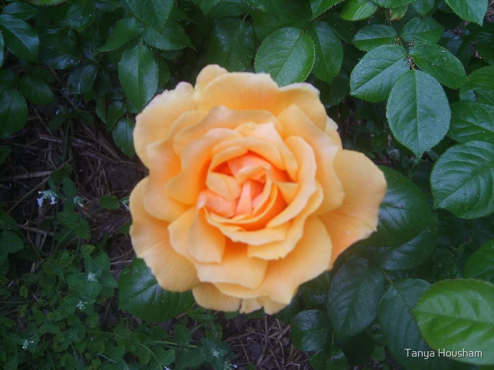 Peachy rose by Tanya Housham