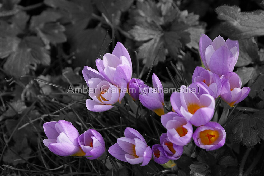 Little Patch of Purple Crocus by Amber Graham (grahamedia)