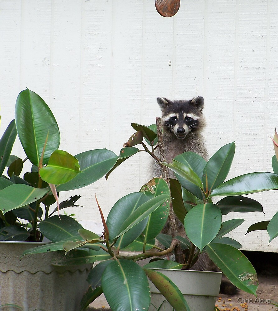 The Racoon by Chris Alsup