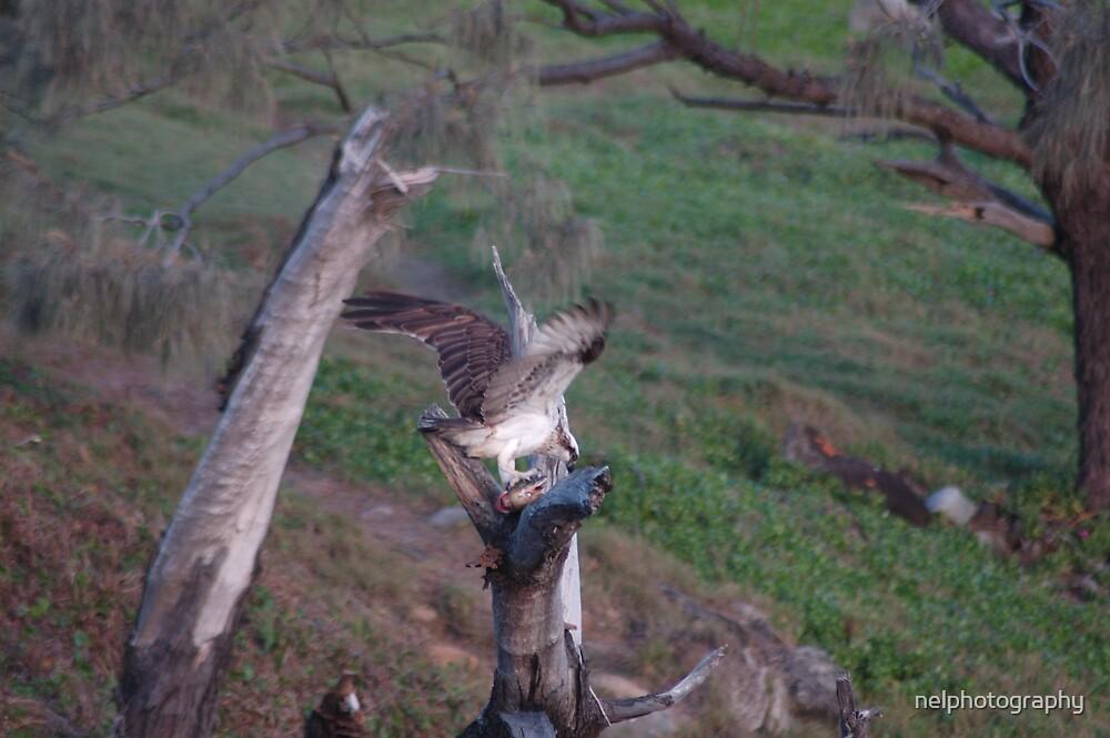 eagle's dinner by nelphotography