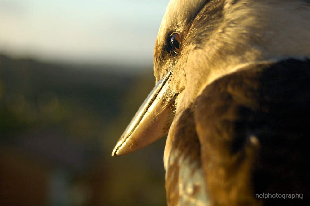 kookaburra late afternoon by nelphotography