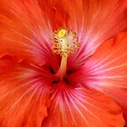 Hibiscus by anthony1957