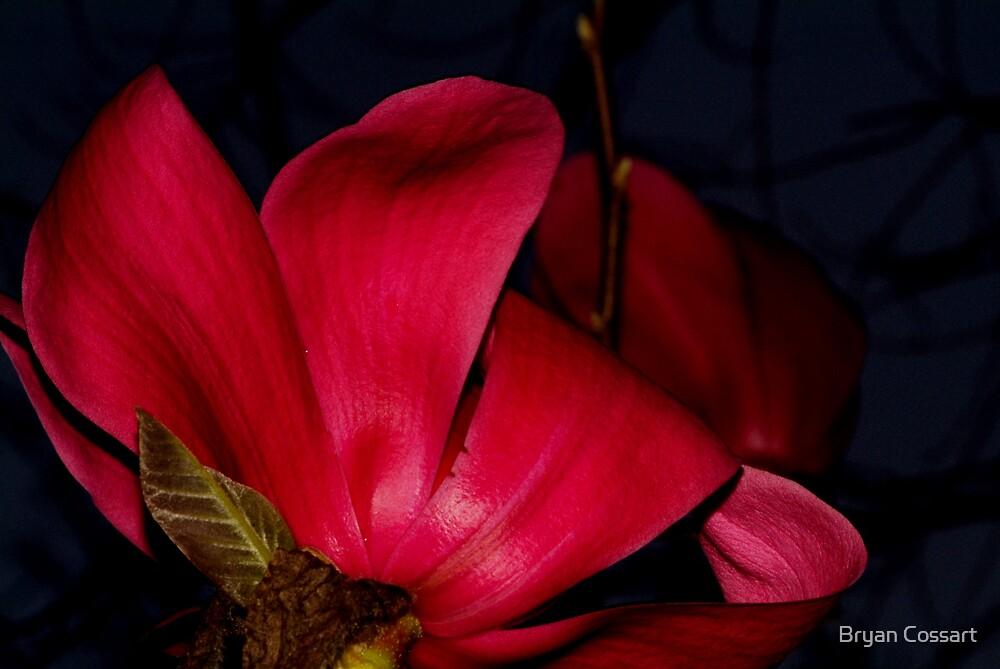 Magnolia Vulcan under flash by Bryan Cossart