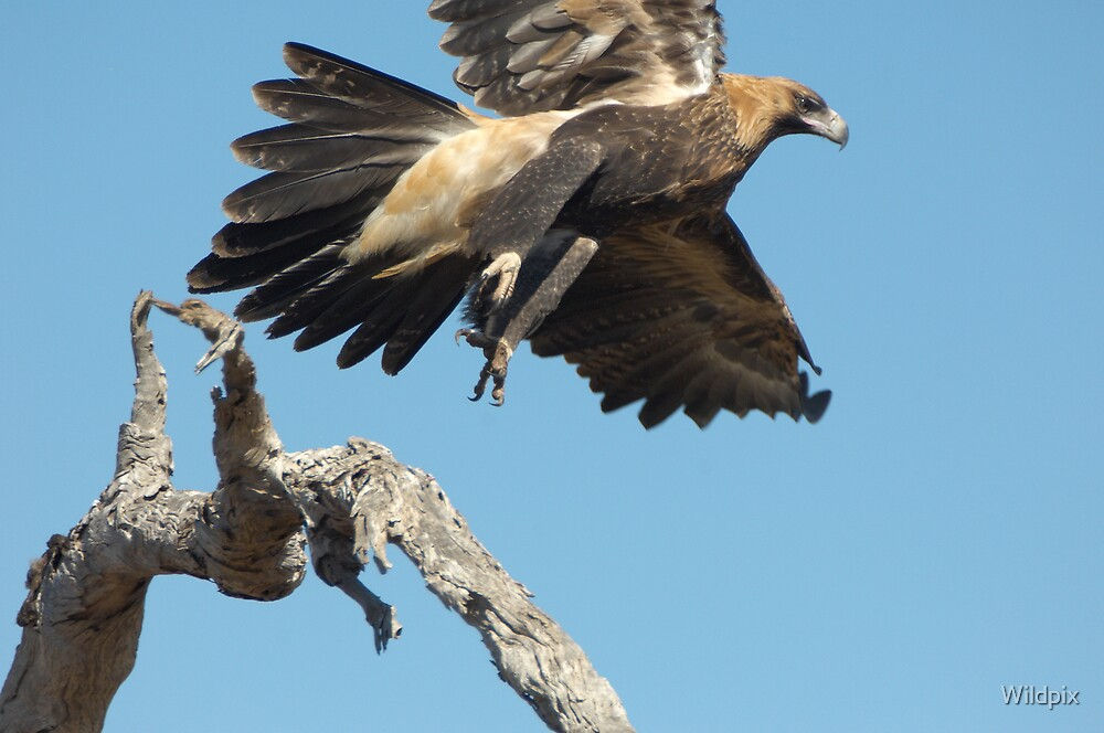 Wedge-Tailed Eagle by Wildpix