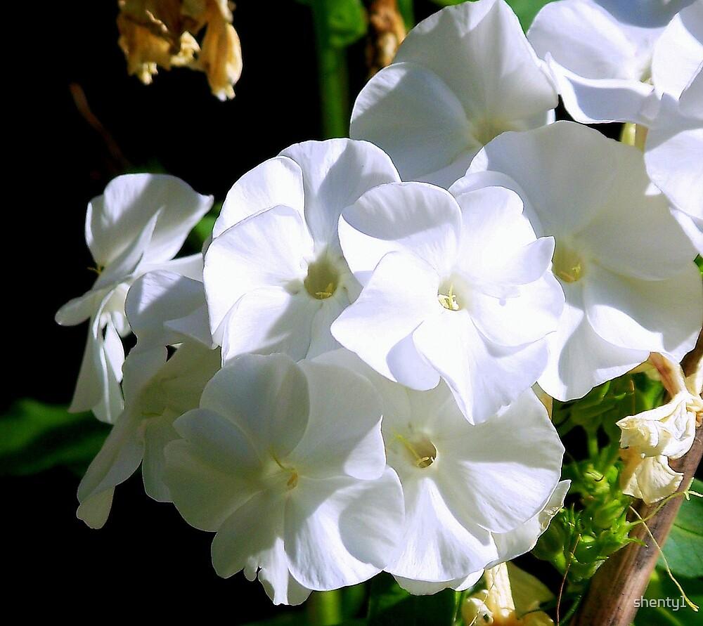 White by shenty1