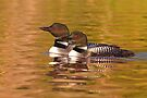 Taking a quick break - Common Loons by Jim Cumming