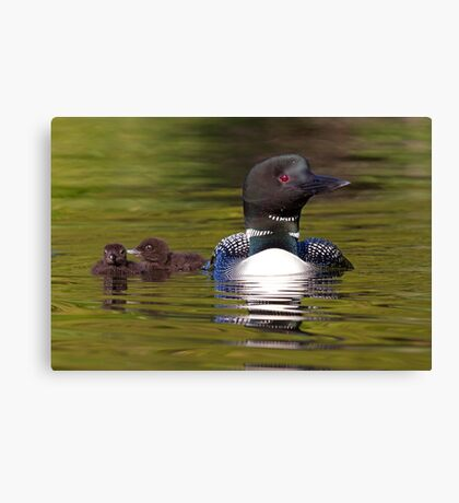 Looniage - Common Loon Canvas Print