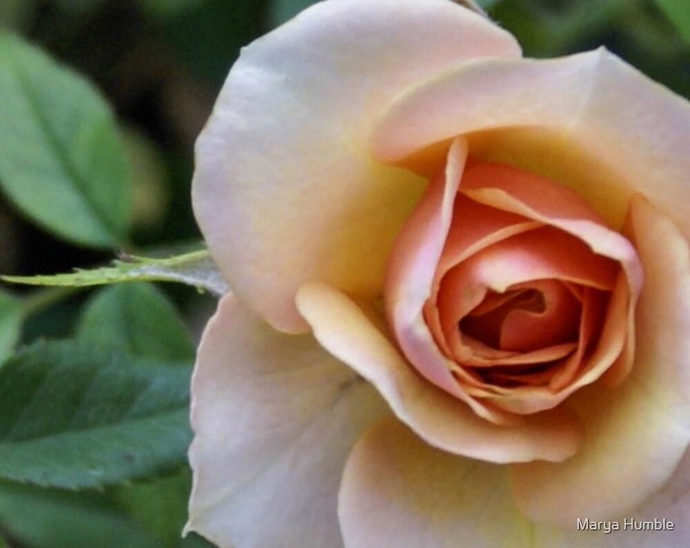 miniture rose by Marya Humble