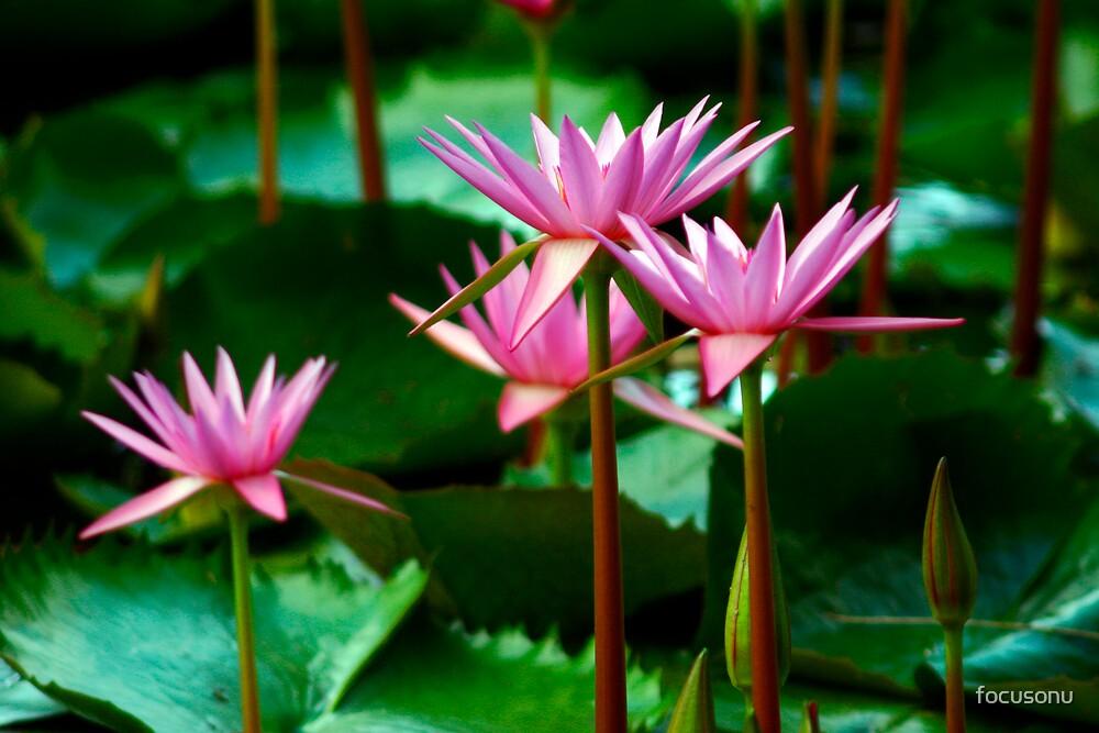 Pink Waterlilly's by focusonu