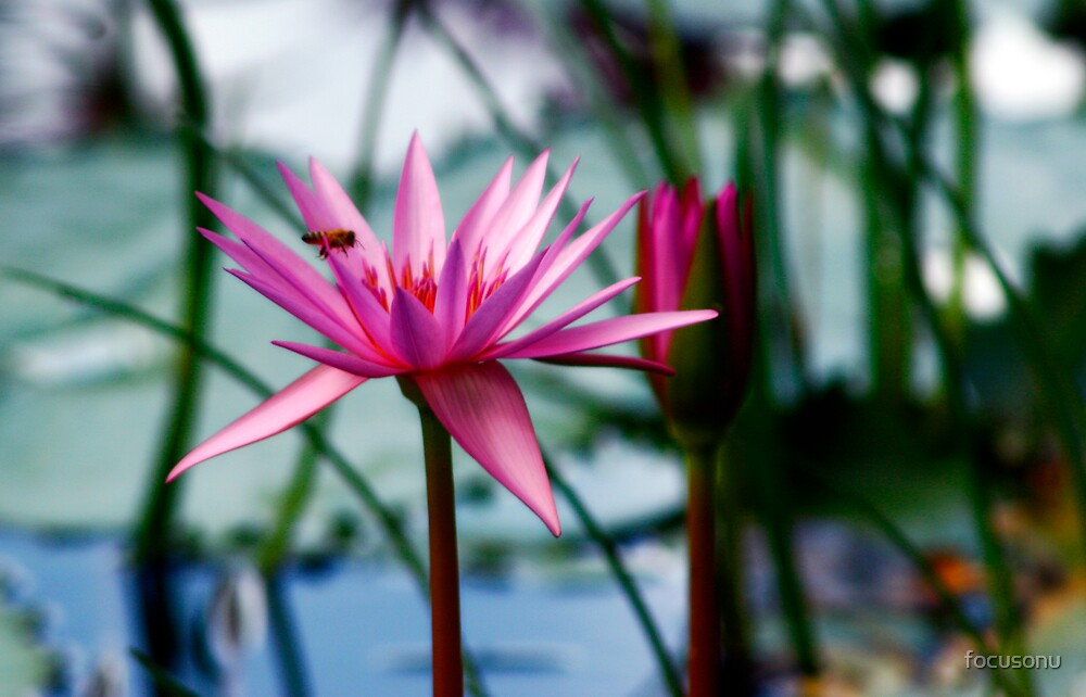 Bee on a waterlilly by focusonu