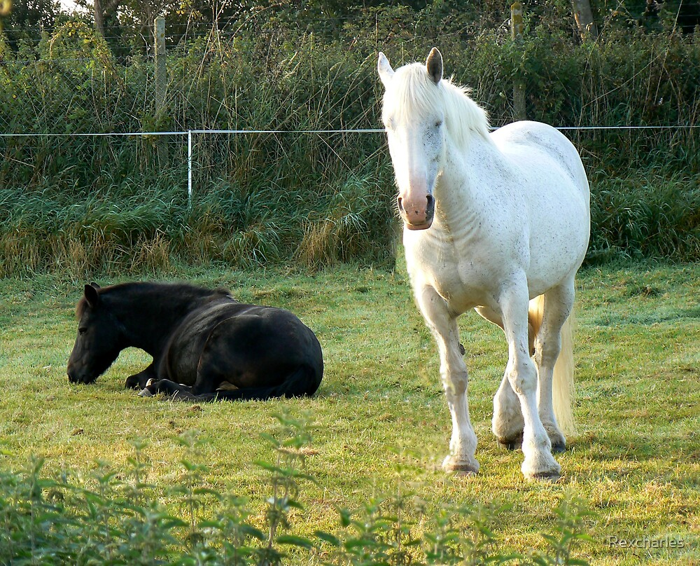 white/ gray dapple horse and black horse in a field  by Rexcharles